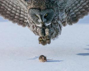 Owl & mouse [Pred&Prey]