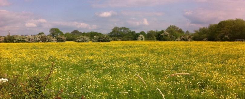 buttercup field IMG_2553 crop