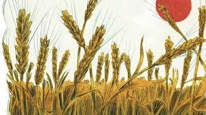 harvest is ripe